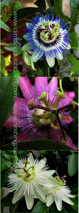 Climbing+Plants++X+3+Offer%2D+Passion+Flower+Promotion+%2D+Hardy+Plants+with+Exotic+Flowers+and+EVERGREEN