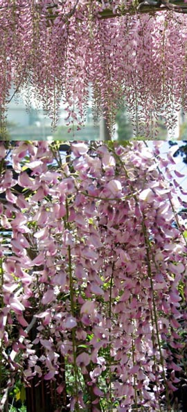 Hanging baskets direct wisteria floribunda pink ice japanese wisteria this hardy climbing plant takes your breath away with stunning long scented chains of pink flowers mightylinksfo