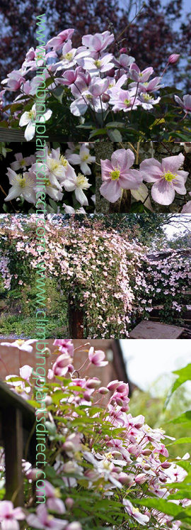 Climbing+Plant+%2D+Clematis+%2D+Mile%2DA%2DMinute+%2D+%27Elizabeth%27+%2D+%2AHEAVENLY+VANILLA+SCENT%2A+%2D+This+Hardy+Perennial+Climber+has+been+container+grown+so+can+be+planted+at+any+time+of+the+year%2E++We+despatch+WITH+container+so+the+roots+are+safe%2E