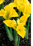 Iris 'Danfordiae'  * SCENTED *- Dwarf for pots, alpine or borders. Commercial size bulb NOT small pre-packs to ensure even growth