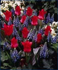 Tulip 'Red Riding Hood' - Dwarf growing * Commercial size bulb NOT small pre-packs - Provides More Even Growth *