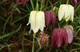 Fritillaria 'Meleagris' - Snake's head Lily. Mixed Colours. *Commercial size bulbs*