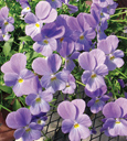 Trailing Pansy (Viola Hybrid) Friolina Aquamarine (3 x 7cms Pot Garden Ready Plants)- WINNER OF THE GROWER OF THE YEAR AWARD