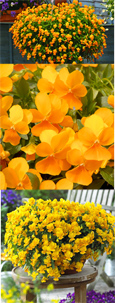 Trailing Pansy (Viola Hybrid) Friolina Orange (3 x 7cms Pot Garden Ready Plants)- WINNER OF THE GROWER OF THE YEAR AWARD