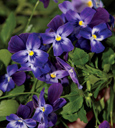 Trailing Pansy (Viola Hybrid) Friolina Purple (3 x 7cms Pot Garden Ready Plants)- WINNER OF THE GROWER OF THE YEAR AWARD