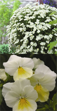 Trailing Pansy (Viola Hybrid) Friolina White (3 x 7cms Pot Garden Ready Plants)- WINNER OF THE GROWER OF THE YEAR AWARD