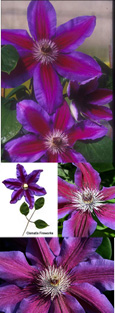 Clematis 'Fireworks' - WOW LOOK AT ME, I'M NOT SHY! This Hardy Perennial Climber has been container grown so can be planted at any time of the year.  We despatch WITH container so the roots are safe.