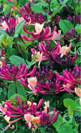 2 x NEW INTRODUCTION Lonicera japonica 'Darts World'  EVERGREEN SCENTED FLOWERS. HARDY. ONE OF THE BEST ALL- ROUND CLIMBING PLANTS INTRODUCED!