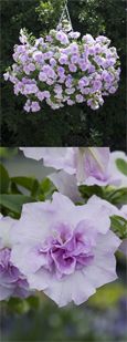 5 X Trailing Petunias 'Tumbelina Joanna' - DELIVERY - MAY ONWARDS